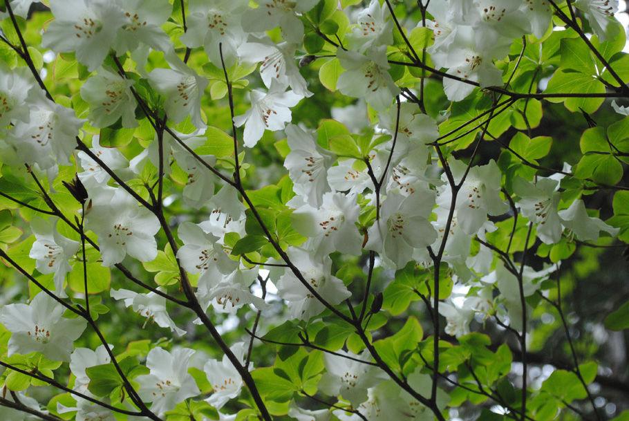 シロヤシオの白い花
