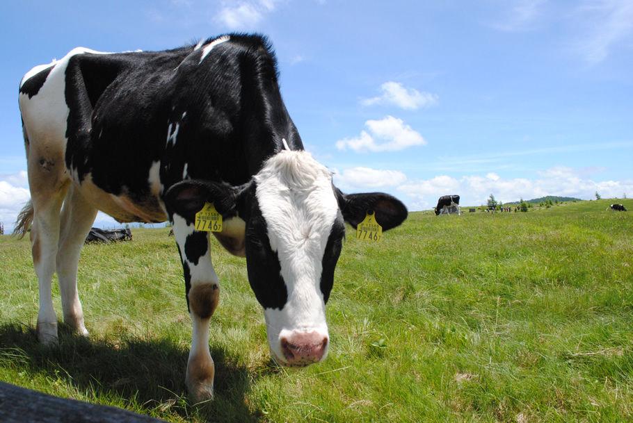 人懐っこい牛が寄ってきた