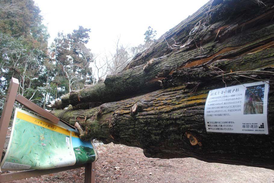 巨大な倒木が看板を押しつぶしていた。この下をくぐるのも勇気がいる