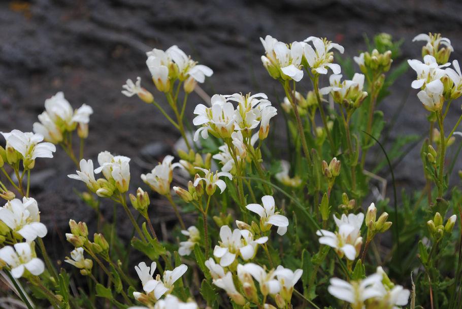 フジハタザオの花が風邪に揺れる