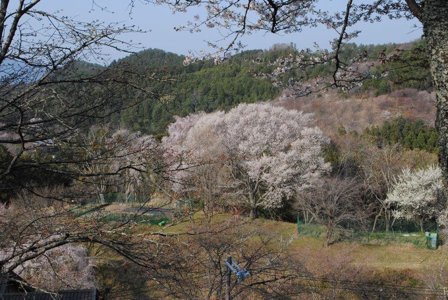 見事な吉野の桜