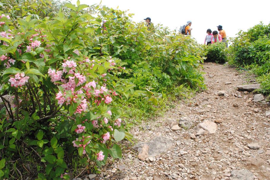 荒島岳山頂のタニウツギ。疲れた登山者に潤いを与えてくれた