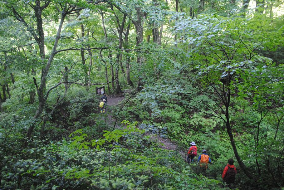 美しいブナ林を歩く。緑一色の世界だ