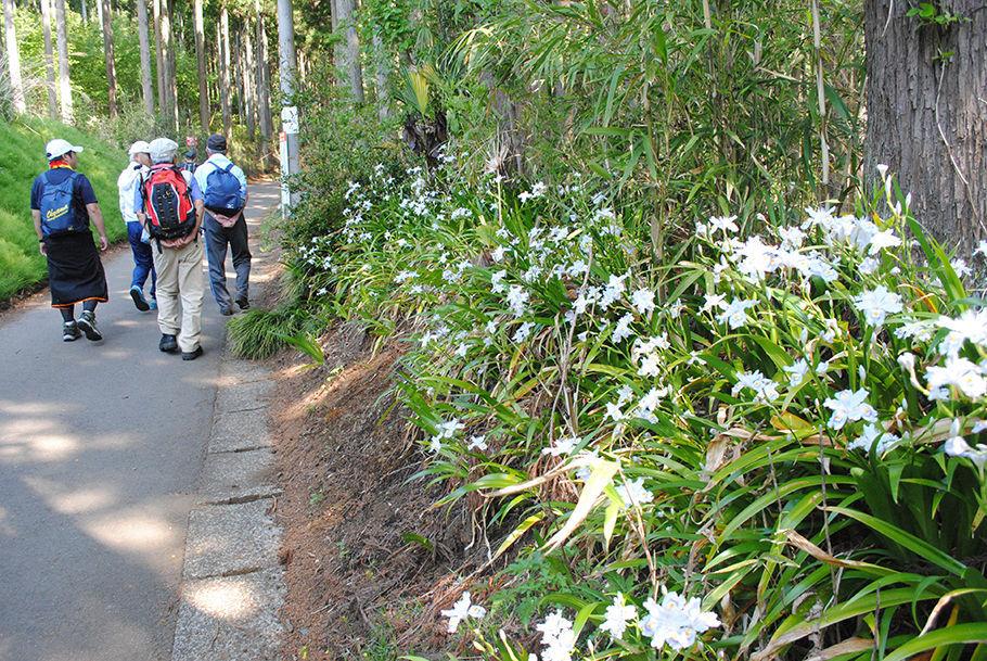 登山者を見送るシャガの花