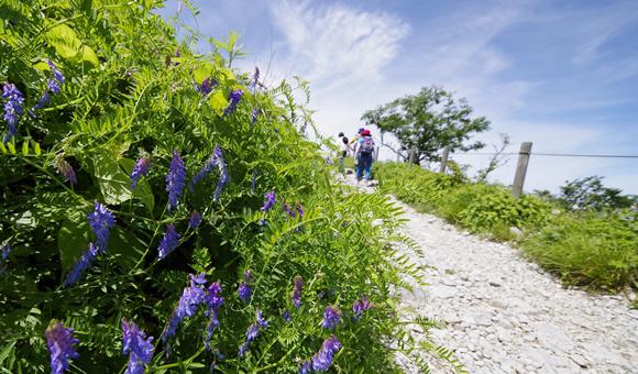 シモツケソウが群生する伊吹山のお花畑