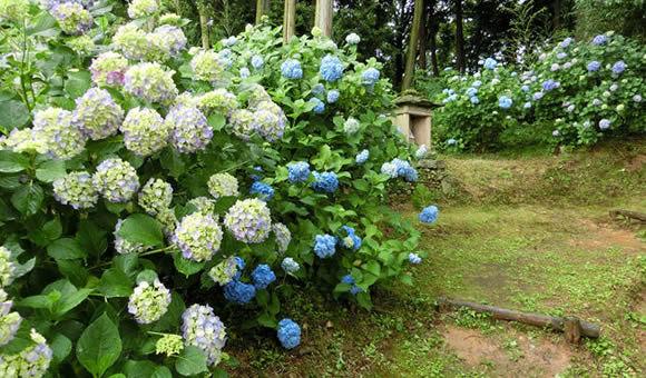 国宝・浄土寺の紫陽花と田園地帯ハイク