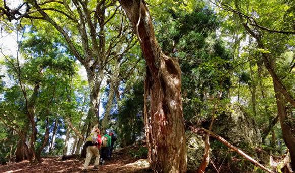 芦生の森を歩く巨大芦生杉コース