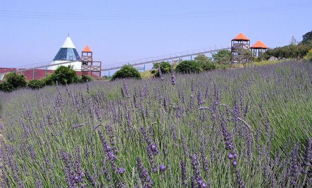 パルシェ香りの館のラベンダー畑(イメージ)