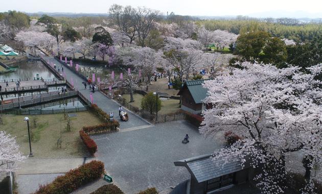 妹背の桜(イメージ)