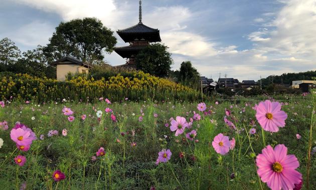 法起寺のコスモス畑(イメージ)