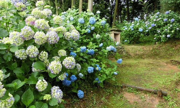浄土寺の紫陽花(イメージ)