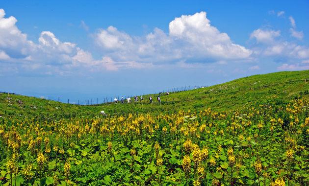 伊吹山山頂のメタカラコウ(イメージ)