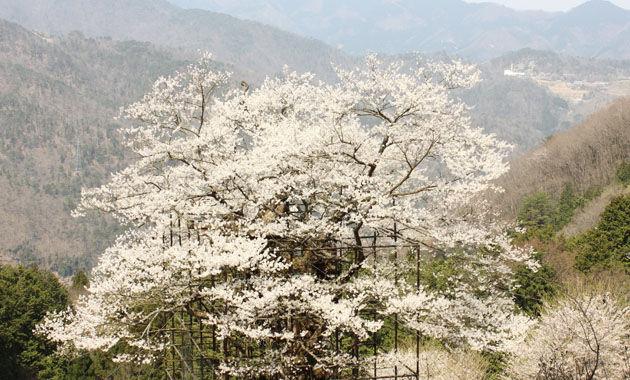 樽見の大桜(イメージ)