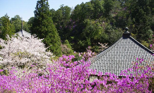 如意寺のミツバツツジ(イメージ)