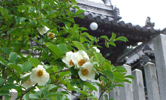 應聖寺の沙羅(イメージ)