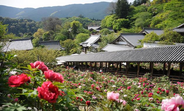 長谷寺赤や白のボタンが広がる境内の回廊(イメージ)