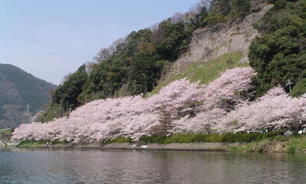 海津大崎の桜(イメージ)