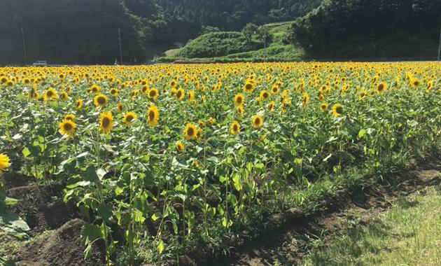 ひまわり畑(イメージ)