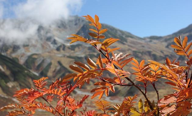 色づく立山のナナカマド(イメージ)