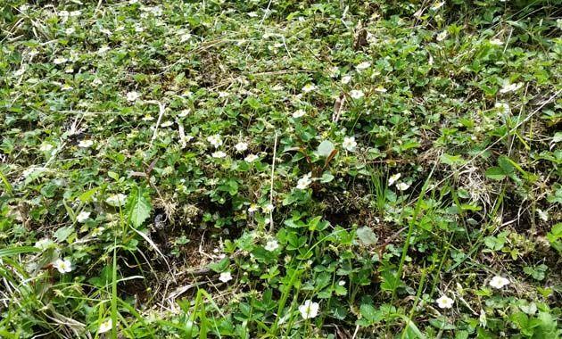 赤岳に咲くチョウノスケ(写真は7月/イメージ)