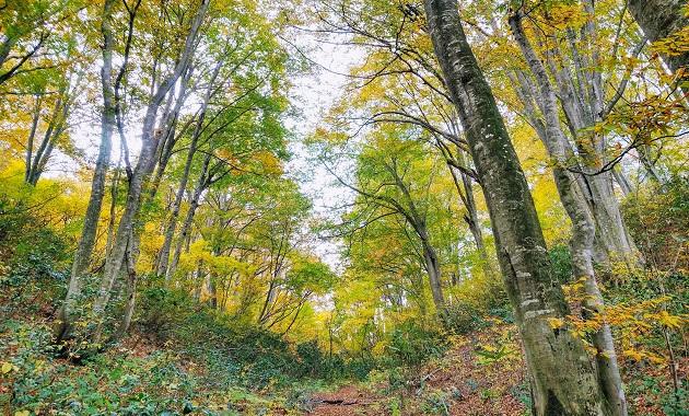 紅葉が始まりかけるブナ林(イメージ)