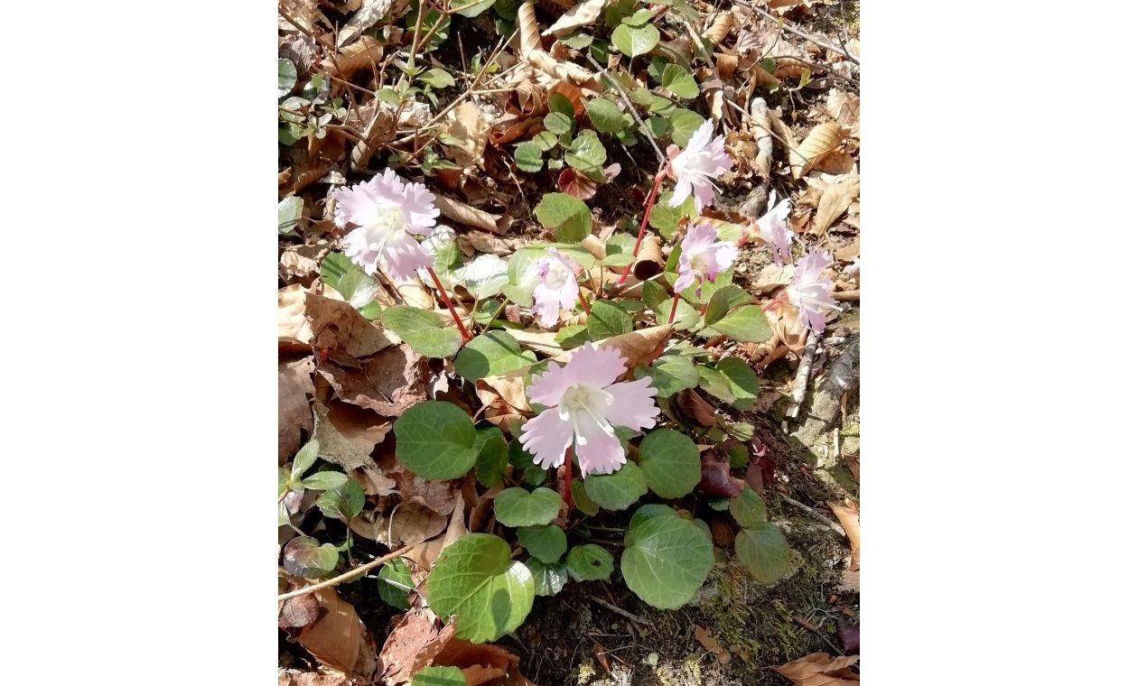 春に咲くイワウチワ(イメージ)