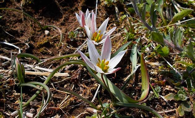 伊吹山北尾根に咲くにヒロハアマナ(イメージ)