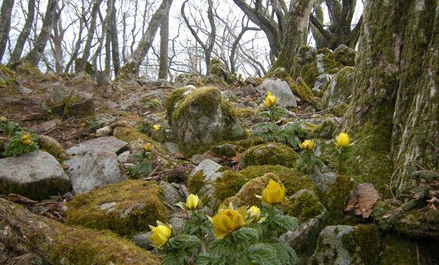 春の藤原岳を代表する花フクジュソウ(イメージ)。花期は3月上旬から4月上旬。