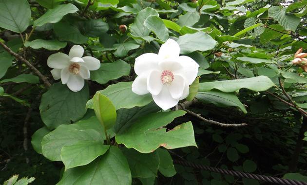 八経ケ岳・弥山に咲くオオヤマレンゲは国の天然記念物(イメージ)。花期は7月上旬から中旬。