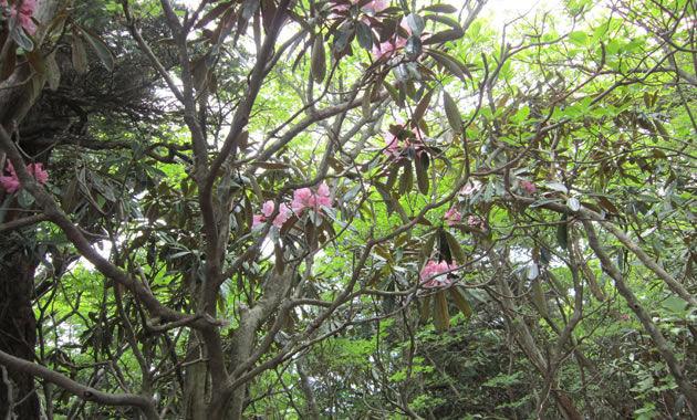 アケボノツツジで有名な花の百名山・東赤石山。見ごろは例年5月上旬から中旬(イメージ)