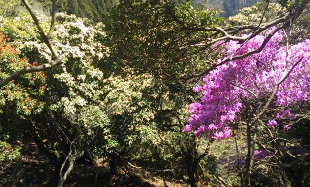 例年4月下旬から5月上旬に見ごろを迎える石鎚山のアケボノツツジ(イメージ)
