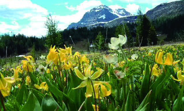 グレイシャーリリーの花畑(イメージ)