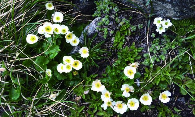 可憐な高山植物の花(イメージ)
