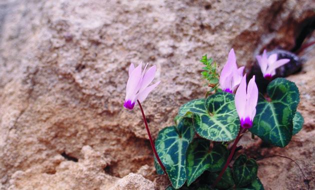 キプロス島シクラメンの花(©CyprusTourismOrganisation)