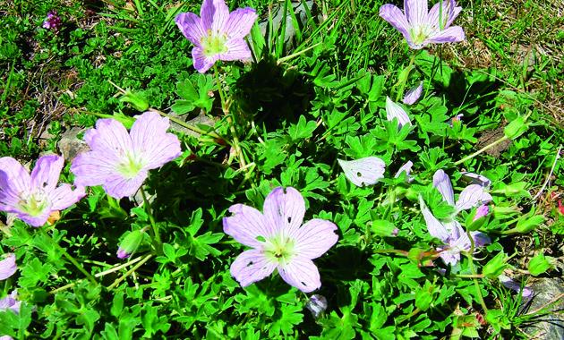 ピレネーの高山植物(イメージ)